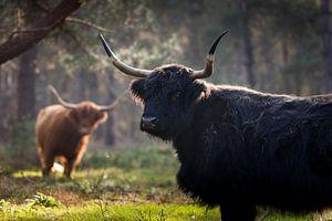 Schottische Highlander in den Wäldern