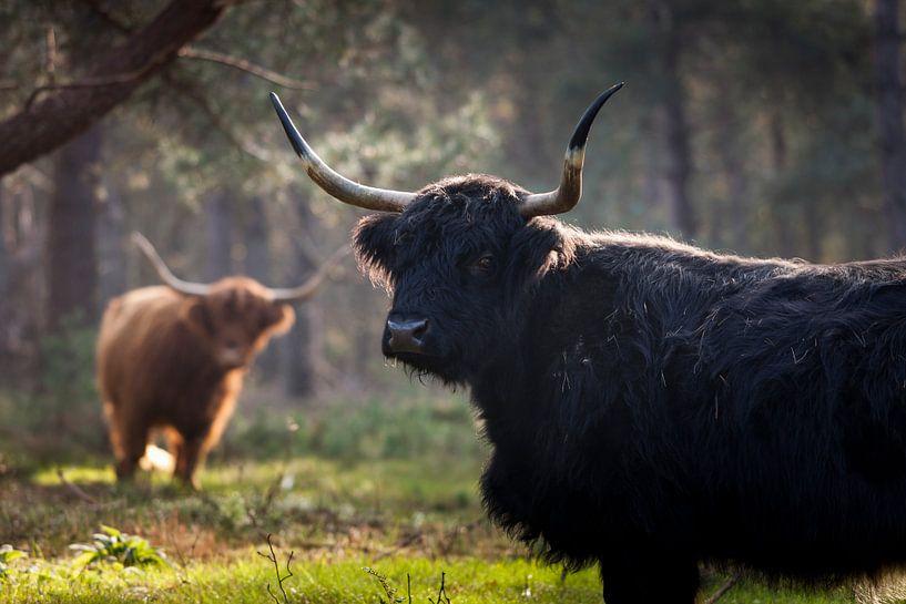 Schottische Highlander in den Wäldern von Rene  den Engelsman