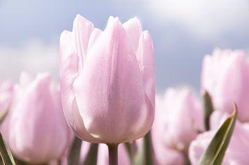 Roze tulp van Saskia Staal
