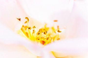 detail van een roos en haar meeldraden van Marc Goldman