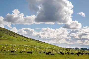 Schafe auf grüner Weide, Neuseeland von Christian Müringer