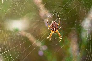 Araignée croisée dans une toile d'araignée avec un beau fond doux sur Robin Verhoef