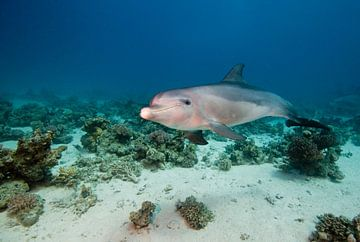 dolfijn van