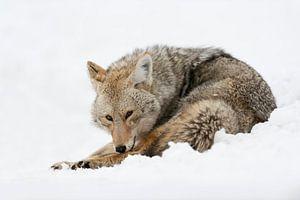 Kojote ( Canis latrans ) im Winter bei der Fell- und Körperpflege, Yellowstone NP, Wyoming, USA.