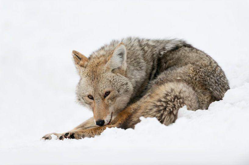 Kojote ( Canis latrans ) im Winter bei der Fell- und Körperpflege, Yellowstone NP, Wyoming, USA. von wunderbare Erde