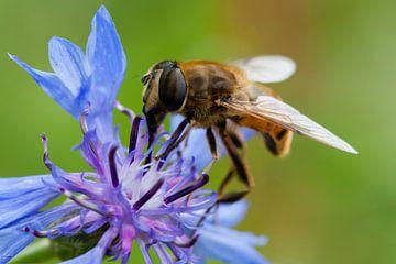 Zweefvlieg op paarse bloem van Evelyne Renske