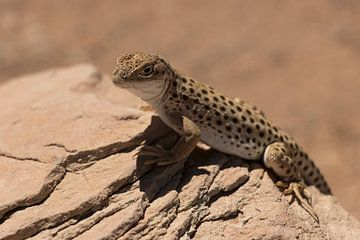 Leopard-Eidechse von Kimberley Helmendag