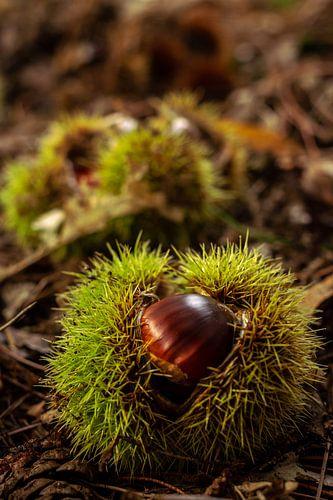 Tamme kastanje in bolster op de grond van het bos