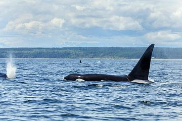 Orka zwemmend van