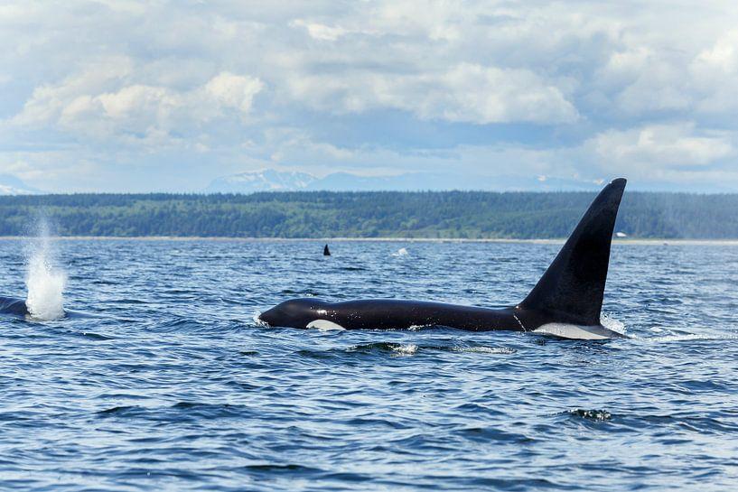 Orka zwemmend van Menno Schaefer