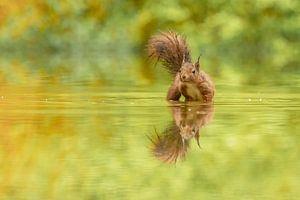 Eekhoorntje in het water van