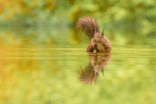 Eekhoorn in het water van