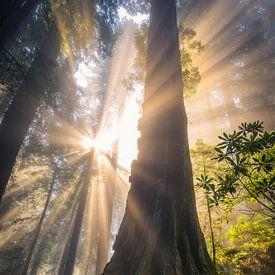 Magie in het Redwoods bos van Edwin Mooijaart