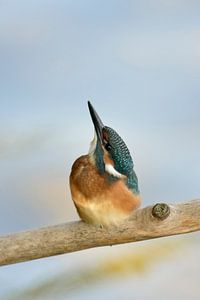 Young Common Kingfisher ( Alcedo atthis ) looks straight up to the sky, nice clean background, wildl