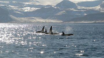 Orka's in IJsland van Marjoleine Roos