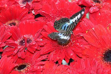 Schmetterling auf Rot von Annette Gasch