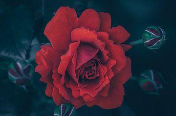 Rode schoonheid