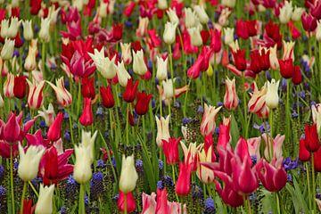 Keukenhof Serie - Tulpen von Wilma Overwijn