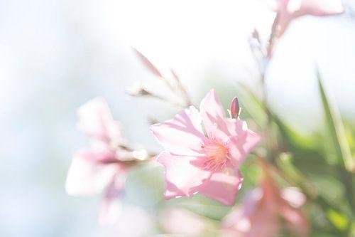 Orleander in vroege zonlicht