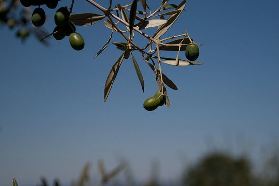 Olive tree van Marco de Groot