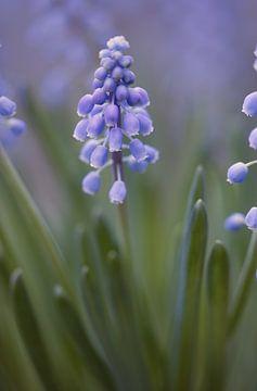 Zachte opname van blauwe druifjes van KB Design & Photography (Karen Brouwer)