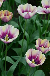 Tulipa at the end of the rainbow