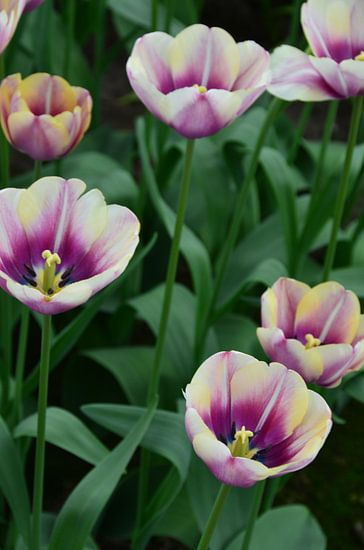 Tulipa at the end of the rainbow van Marcel van Duinen