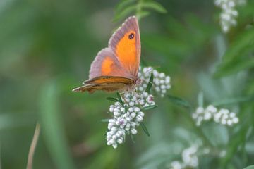 Oranje zandoogje (Pyronia tithonus) sur Kim de Been