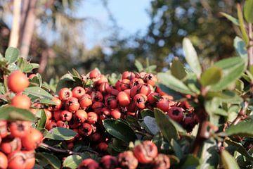 Rote Beeren von Artisticcreationsbyramona