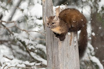Martens / dennenmarters / sparrenmarters ( Martes americana ) in de winter, wilde dieren, Yellowston van wunderbare Erde