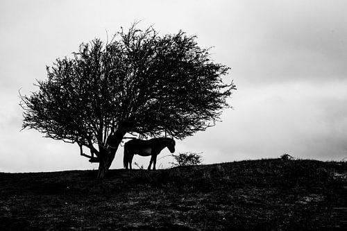 Konikpaard onder een boom