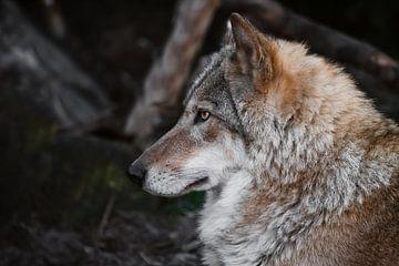 tête de profil. La femelle louve est magnifiquement couchée sur le sol, imposante. Puissant animal g sur Michael Semenov