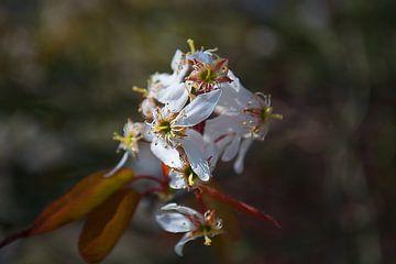 Bijna uitgebloeide bloemen van de Sleedoorn van tiny brok