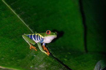 Rotäugiger Makro-Frosch von Sander van Gorp