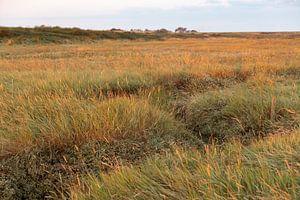 Grassen kleuren de Schorren goud in het vroege ochtendlicht van