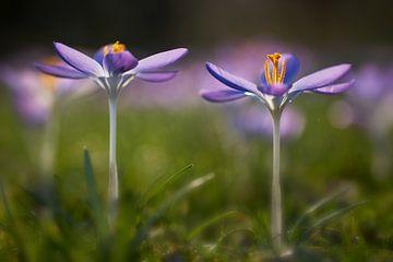 Twee open paarse boeren Krokussen