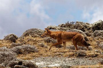 ethiopische wolf van rene schuiling