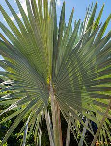 Bismarckia Nobilis - Blaue Palme von Alie Messink
