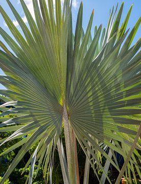 Bismarckia Nobilis - Blauwe Palm van Alie Messink