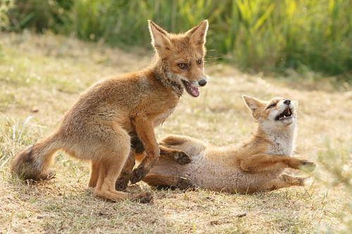 Twee jonge vosjes aan het spelen. van