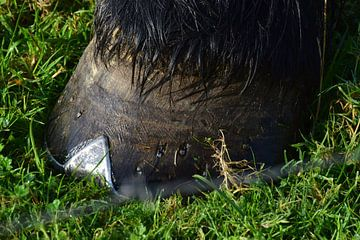 Close up, paardenhoef van Els Royackers