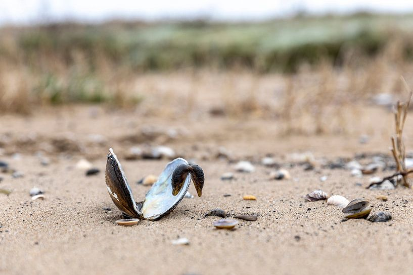 Schelp op strandje Merwede van Rob van der Teen