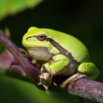 Nature | Treefrog portret von
