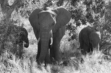 Olifantenfamilie in zwart-wit. van