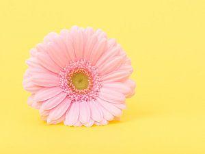 Gerbera in het geel / Pink gerber daisy in yellow van