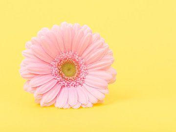 Gerbera in het geel / Pink gerber daisy in yellow sur Elles Rijsdijk