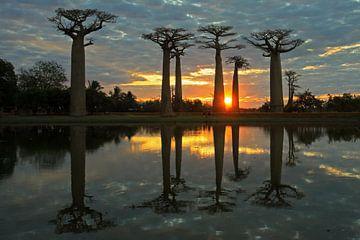 Baobab Allee bij zonsondergang sur