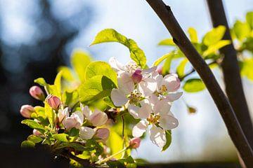 Frühlingszeit (Blüte) von Marcel Mombarg