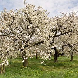 Cherry Blossom von Marijke van Eijkeren