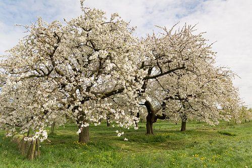 Kersenbomen in bloei van